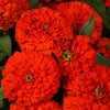 Proven Winners® Annual Plants|Zinnia - Sweet Tooth Licorice 1
