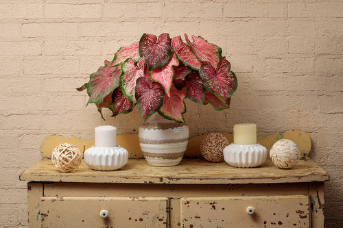Proven Winners® Annual Plants|Caladium - Heart to Heart 'Tickle Me Pink' 2