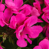 Proven Winners® Annual Plants|Pelargonium - Timeless Lavender Geranium 1