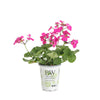 Proven Winners® Annual Plants|Pelargonium - Timeless Lavender Geranium 4