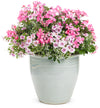 Proven Winners® Annual Plants|Pelargonium - Timeless Pink Geranium  1
