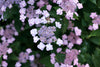Proven Winners® Shrub Plants|Serrata - Tiny Tuff Stuff Mountain Hydrangea 1