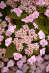 Proven Winners® Shrub Plants|Serrata - Tiny Tuff Stuff Mountain Hydrangea 3