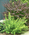 Proven Winners® Shrub Plants|Physocarpus - Tiny Wine Gold Ninebark 2