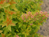 Proven Winners® Shrub Plants|Physocarpus - Tiny Wine Gold Ninebark 3