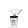 Tiny Wine® Gold Ninebark (Physocarpus)