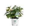 Shrub Plants|Serrata - Tuff Stuff Ah-Ha Mountain Hydrangea 3