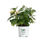 Budded to Bloomed Tuff Stuff Ah-Ha® Mountain Hydrangea (Serrata)