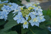 Shrub Plants|Serrata - Tuff Stuff Ah-Ha Mountain Hydrangea 1