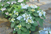 Shrub Plants|Serrata - Tuff Stuff Ah-Ha Mountain Hydrangea 4