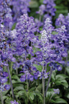 Proven Winners® Annual Plants|Salvia - Unplugged So Blue 1