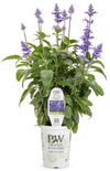 Proven Winners® Annual Plants|Salvia - Unplugged So Blue 3