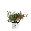 Proven Winners® Shrub Plants|Rosa - Oso Easy Urban Legend Rose  1
