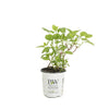 Shrub Plants|Arborescens - Invincibelle Wee White Smooth Hydrangea  1