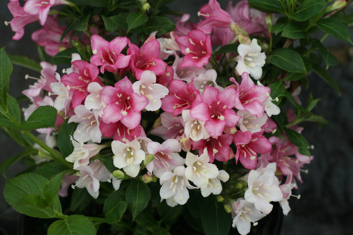 Proven Winners® Shrub Plants|Weigela - Czechmark Trilogy  1