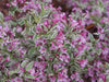 Proven Winners® Shrub Plants|Weigela - My Monet Purple Effect  1