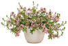 Proven Winners® Annual Plants|Scaevola - Whirlwind Pink Fan Flower 4