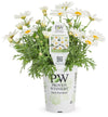 Annual Plants|Argyranthemum - Pure White Butterfly Marguerite Daisy  3