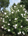 Proven Winners® Shrub Plants|Hibiscus - White Chiffon Rose of Sharon  1