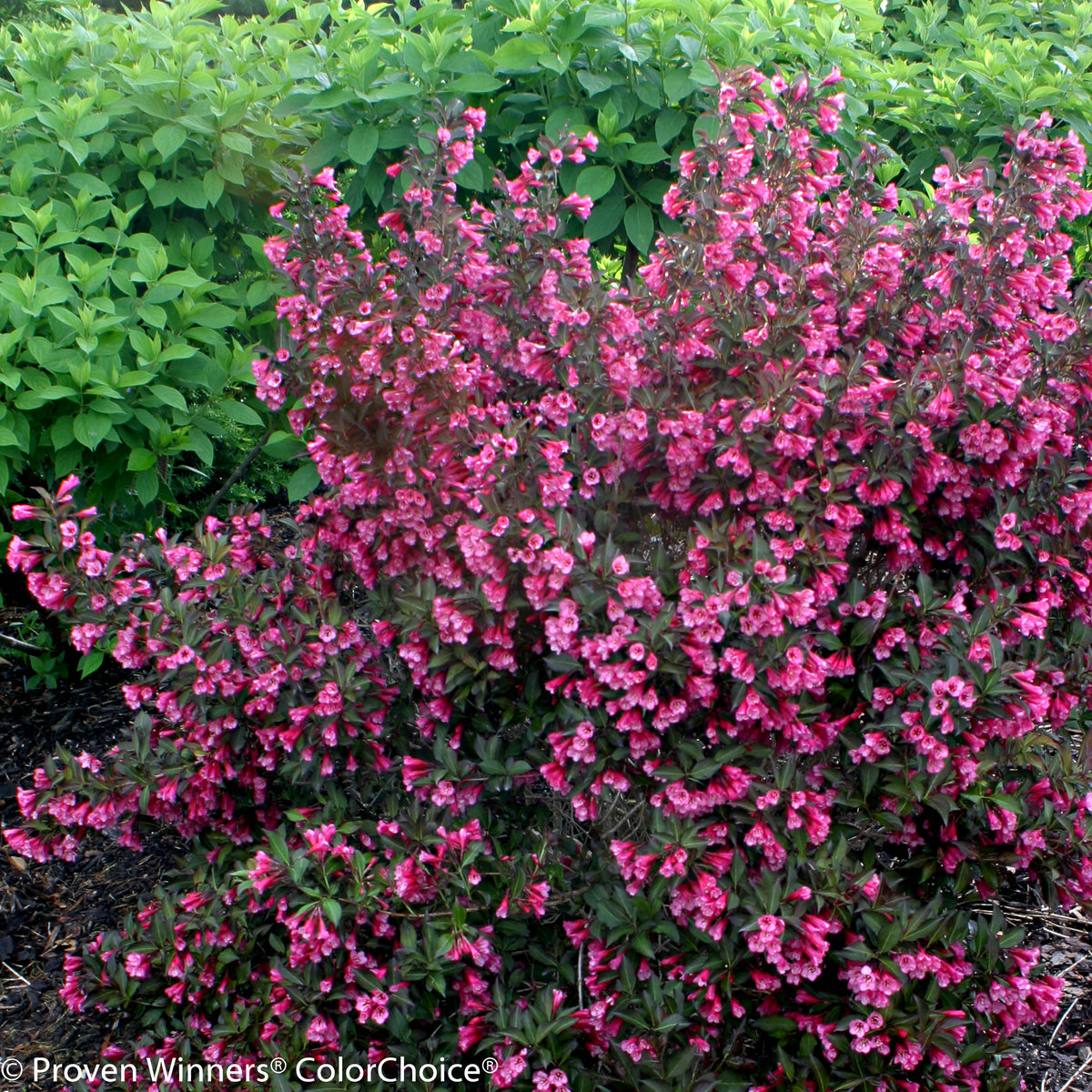 Proven Winners® Shrub Plants|Weigela - Wine & Roses Reblooming 1