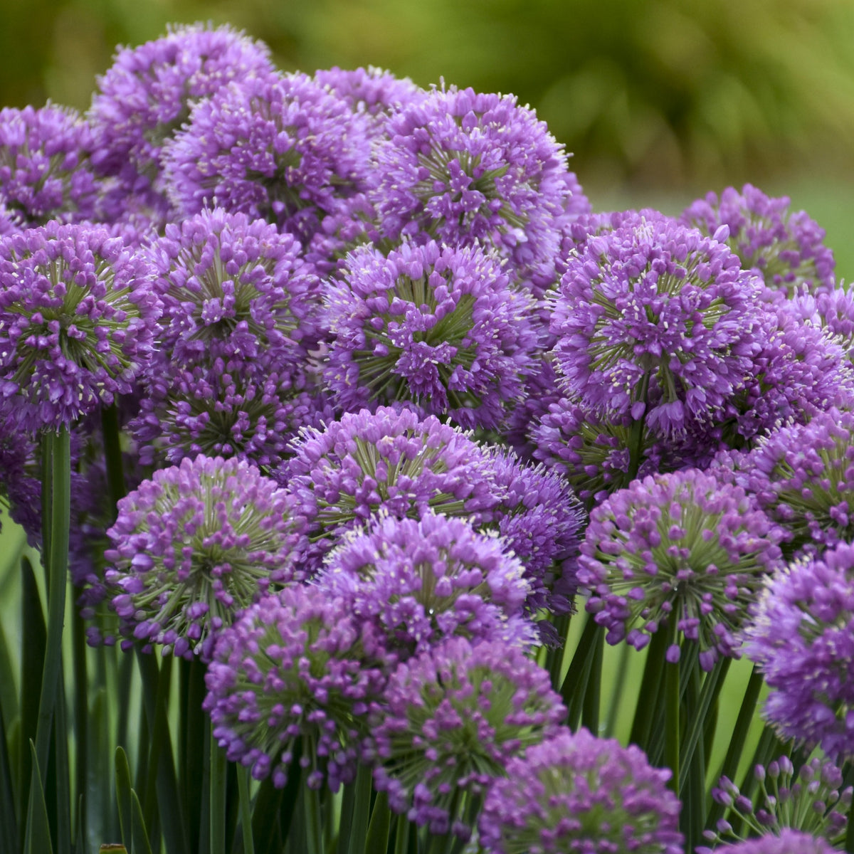 'Serendipity' Ornamental Onion (Allium)