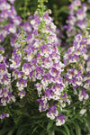 Annual Plants|Angelonia - Angelface Wedgwood Blue Summer Snapdragon  2