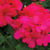 Proven Winners® Annual Plants|Pelargonium - Boldly Hot Pink Geranium 3
