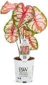 Proven Winners® Annual Plants|Caladium - Heart to Heart 'Bottle Rocket' 3