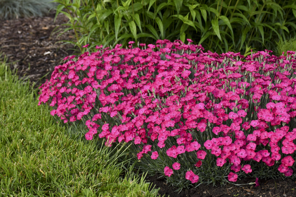 'Paint the Town Magenta' Pinks (Dianthus)