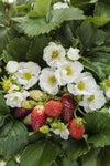 Seeds Berried Treasure® White Strawberry (Fragaria)