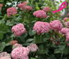 Invincibelle® Spirit II Smooth Hydrangea (Arborescens)