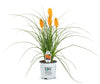 Pyromania® 'Orange Blaze' Red Hot Poker (Kniphofia)