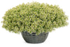 Moonlight Knight™ Sweet Alyssum (Lobularia)