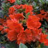 Perfecto Mundo® Orange Reblooming Azalea (Rhododendron)