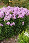 Luminary™ 'Opalescence' (Phlox)