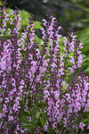 Color Spires® 'Pink Dawn' (Salvia)