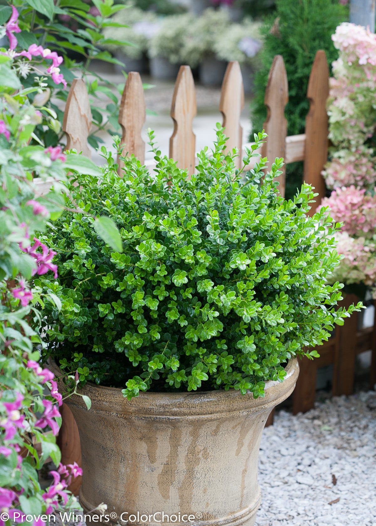 Sprinter® Boxwood (Buxus)