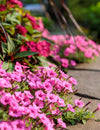 Proven Winners® Annual Plants|Petunia - Supertunia Mini Vista Hot Pink 2