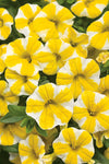 Patio Plants|Calibrachoa - Superbells Lemon Slice Mono Hanging Basket 2