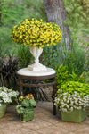 Patio Plants|Calibrachoa - Superbells Lemon Slice Mono Hanging Basket 3