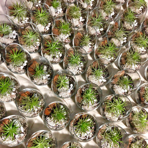 Corporate event gifts customized airplant terrariums