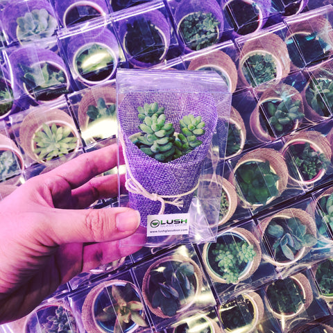 Mini Succulent as Wedding Favors