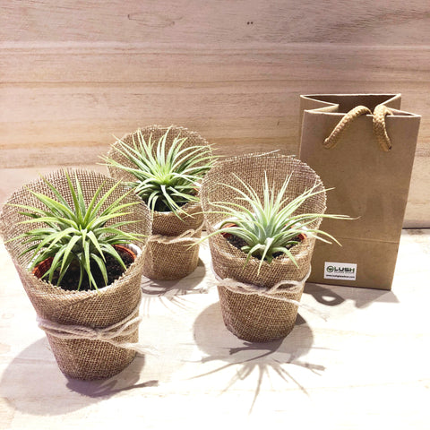 Mini Airplant in Burlap Mini Plant Gifts by Lush Glass Door