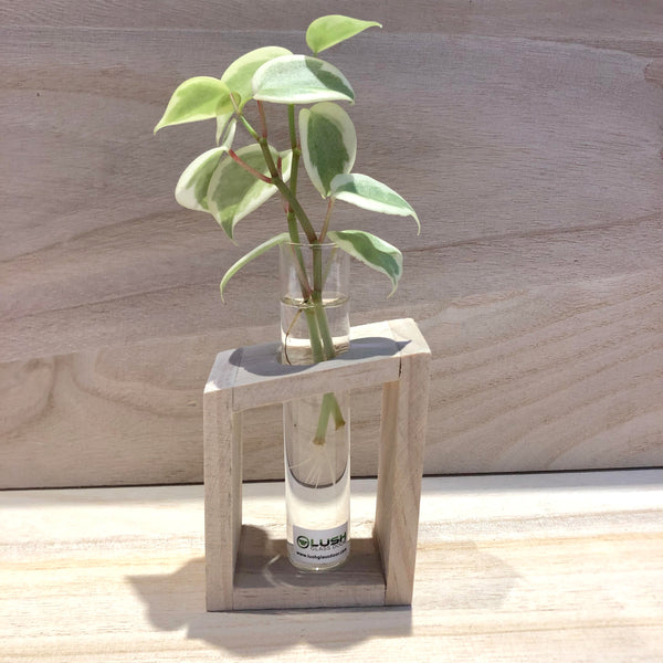 Water Rooting Peperomia Scandens 'Variegata' in Test Tube (Single)