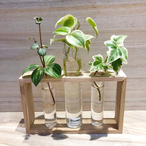 Water Rooting Peperomia scandens 'Variegata' , English Ivy, Peperomia Puteolata in Test Tube (Triple)