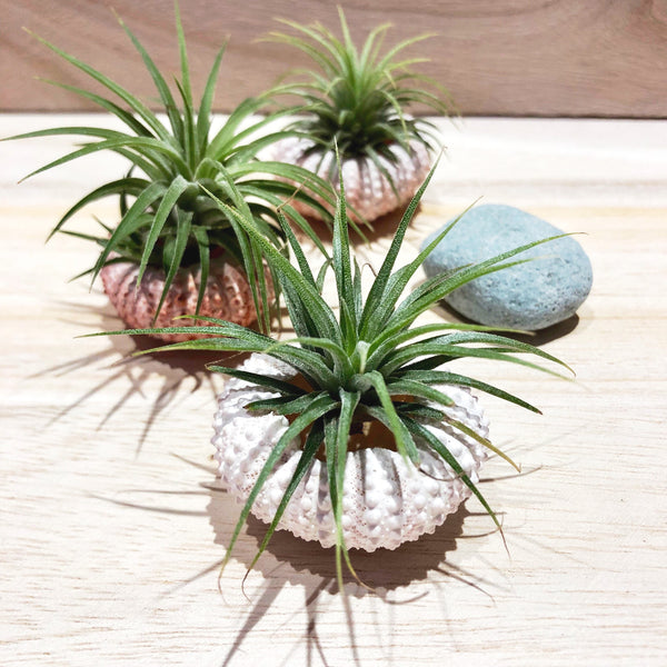 Classy Airplant with Urchin Shell by Lush Glass Door