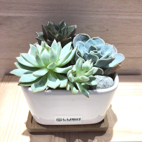 Combo Succulents in Ceramic Square Pot