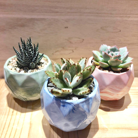 Succulent in Ceramic Marble Veined Pot