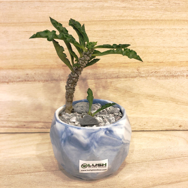 Special Collection! Coconut Tree Like Succulent in Ceramic Marble Veined Pot