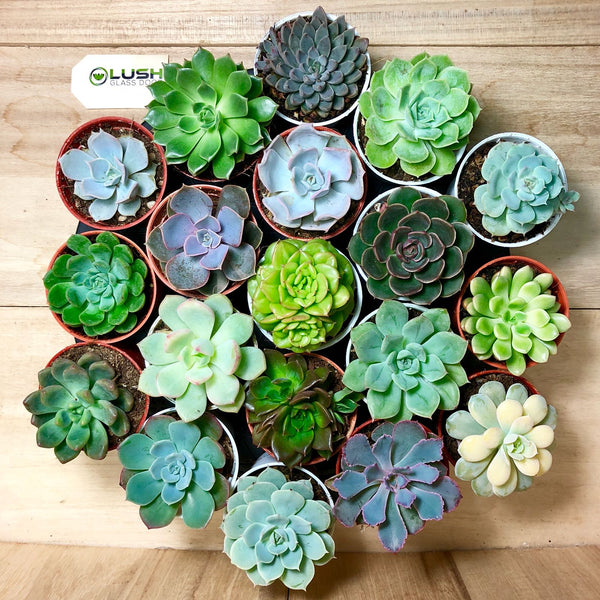 Assorted mini succulents, hand picked by Lush Glass Door, suitable for terrariums and indoor decorations